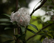 Rhodies Prints - Gracefully Lit Print by Mike Reid