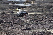 Lapwing Photos - Gracious Ascent by Douglas Barnard