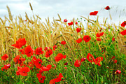 Poppies Photos - Grain and poppy field by Elena Elisseeva