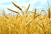 Wheat Photos - Grain field by Elena Elisseeva