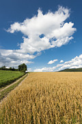 Cornfield Photos - Grainfield blue sky by Matthias Hauser