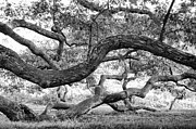 Granby Prints - Granby Oak Print by HD Connelly