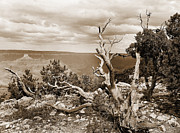 Landscape Framed Prints Framed Prints - Grand Canyon through Old Trees Framed Print by M K  Miller