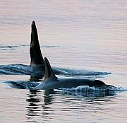 Whale Photo Originals - Granny and Ruffles Orca Whales J pod by Sandy Buckley