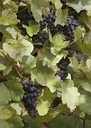Purple Grapes Prints - Grape Clusters Print by Sharon Foster