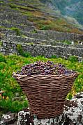 Basket Framed Prints - Grape harvest Framed Print by Gaspar Avila