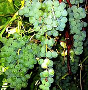 Grapes Green Prints - Grape Harvest Print by Will Borden