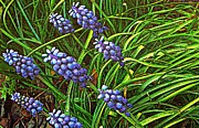 Olive Oil Posters - Grape Hyacinth and Foliage  Poster by Chris Berry
