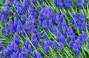 Monocotyledons Posters - Grape Hyacinth (muscari Sp.) Poster by Kaj R. Svensson