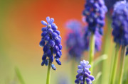 Grape Hyacinths Posters - Grape Hyacinth Poster by Sharon  Talson