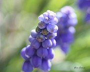 White Grape Posters - Grape Hyacinth Poster by Yumi Johnson