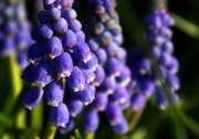 Anne Babineau Framed Prints - Grape Hyacinths Framed Print by Anne Babineau