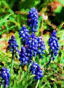 Grape Hyacinths Posters - Grape Hyacinths  Poster by David Lane