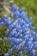 Grape Hyacinths Photos - Grape Hyacinths (muscari Armeniacum) by Maria Mosolova