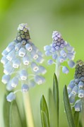 Grape Hyacinths Posters - Grape Hyacinths (muscari Aucheri) Poster by Maria Mosolova