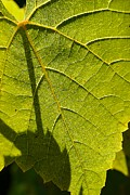 Backlit Leaf Prints - Grape Leaf in Sunshine Print by Beth Akerman