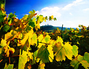 Grape Vineyards Posters - Grape Leaves and the Sky Poster by Elaine Plesser