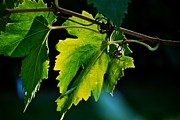 Grape Leaves Posters - Grape Leaves Poster by Eric Tressler