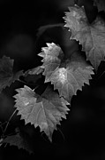 White Grape Posters - Grape Leaves II Poster by John Lindroth
