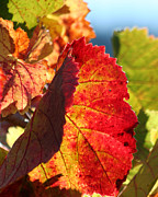 Grape Vineyards Posters - Grape Leaves in Fall Poster by Melanie Rainey