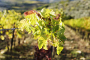 Chianti Vines Photo Framed Prints - Grape Leaves Framed Print by Jeremy Woodhouse