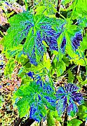 Grape Vines Metal Prints - Grape Leaves Metal Print by Will Borden
