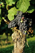 Winemaking Framed Prints - Grape on a vine on vineyards Framed Print by Sami Sarkis