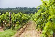 Grape Vines At Fall Creek Vineyards Print by James Forte