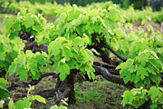 Grape Vines Metal Prints - Grape vines Metal Print by Gaspar Avila