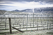 Cultivation Prints - Grape Vines in Winter Print by Dave & Les Jacobs