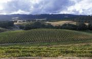 Grape Vines On Opolo Vineyards Print by Rich Reid