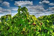 Vine Grapes Framed Prints - Grape Vines Up Close Framed Print by Steven Ainsworth