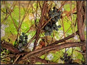 Wine Country. Mixed Media Framed Prints - Grape2 Framed Print by Irina Hays
