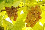 Grapes Art Prints - Grapes A fine Art Photography Print and Canvas Art Print by James Bo Insogna