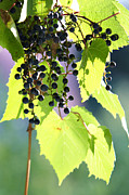 Vine Leaves Posters - Grapes And Leaves Poster by Michal Boubin