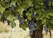 Grapes And Vine Print by Sharon Foster