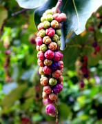 Pantry Photos - Grapes By the Sea by Karen Wiles