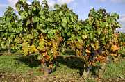 Grape Vineyards Photo Posters - Grapes growing on vine Poster by Bernard Jaubert
