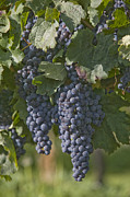 Winemaking Posters - Grapes Hang On A Vine In Summer Poster by Taylor S. Kennedy