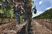Landscape In Israel Prints - Grapes Hanging On Vine Print by Noam Armonn
