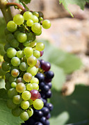Grapevine Leaf Photo Prints - Grapes Print by Jane Rix