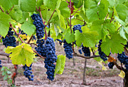 Pinot Noir Photos - Grapes by Jean Noren