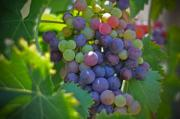 Winery Photography Photo Prints - Grapes Print by Kelly Wade