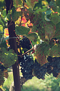Growing Grapes Prints - Grapes Print by Laurie Search