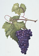 Grapevine Leaf Painting Posters - Grapes  Poster by Margaret Ann Eden
