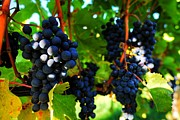 Wesley Allen Photography Photos - Grapes of Merlot by Wesley Allen Shaw
