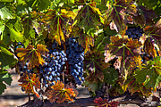 Grapevine Autumn Leaf Art - Grapes of the Napa Valley by Garry Gay