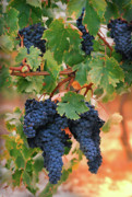 Blue Grapes Posters - Grapes of Tuscany Poster by Dallas Clites