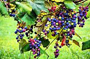 Purple Grapes Photo Framed Prints - Grapes of Wrath Framed Print by Karen M Scovill