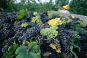 Grapevines Photos - Grapes On A Vine At The La Palla by Tino Soriano
